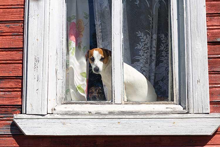potential safety hazard pet dog looking through window